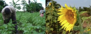 Summer Sunflowers for Sustainable Development!
