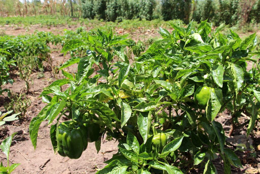 peppers growing in a field