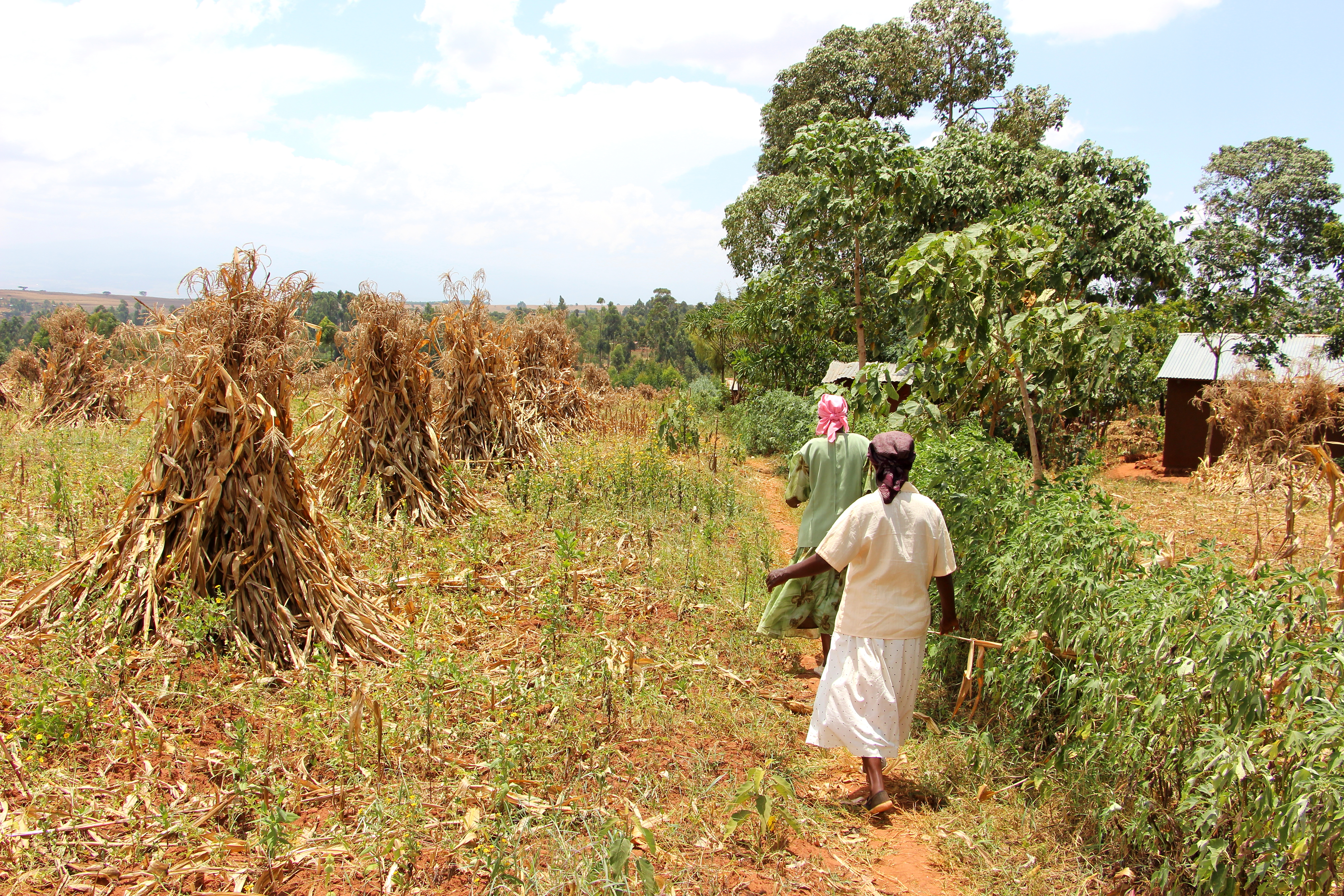 Two Village Enterprise business owners in their drying maize fields.