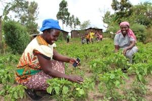 two African women picking plants in a field