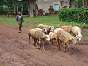 An African child herding sheep