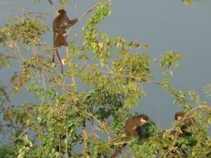 monkeys climbing in trees