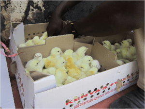 boxes full of young chicks